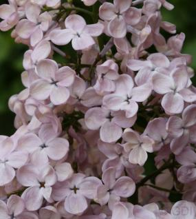 Edelflieder Rosenrot - Kircher-Collection 80-100cm - Syringa hyacinthiflora - Vorschau