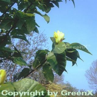 Magnolie Yellow Bird 60-80cm - Magnolia - Vorschau