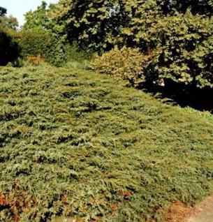 Kriechender Heidewacholder Hornibrook 30-40cm - Juniperus communis Hornibrookii - Vorschau