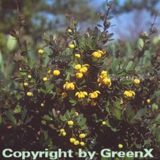 Grüner Polster Berberitze 15-20cm - Berberis buxifolia Nana - Vorschau