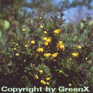 Grüner Polster Berberitze 25-30cm - Berberis buxifolia Nana - Vorschau