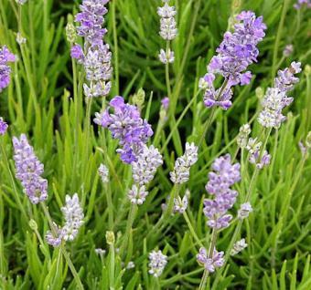 Echter Lavendel Blue Cushion - Lavandula angustifolia - Vorschau
