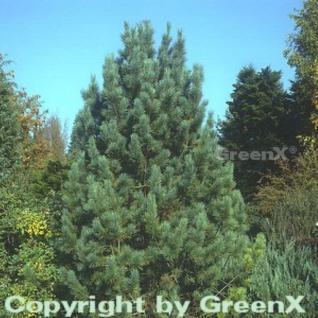 Zirbelkiefer 60-70cm - Pinus cembra - Vorschau