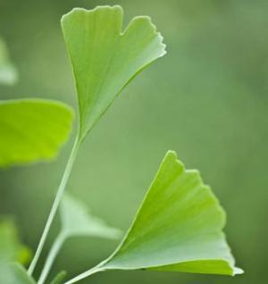 Fächerblattbaum Menhir® 100-125cm - Ginkgo biloba - Vorschau