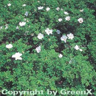 weiße Apfelrose 40-60cm - Rosa rugosa alba - Vorschau