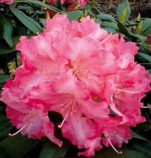 Rhododendron Sonatine 25-30cm - Alpenrose - Vorschau