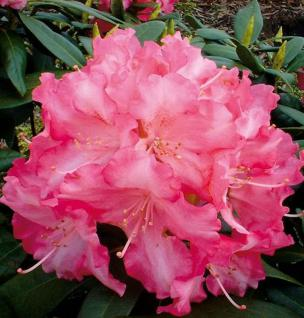 Rhododendron Sonatine 30-40cm - Alpenrose - Vorschau