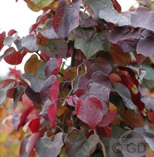 Kanadischer Judasbaum Merlot 60-80cm - Cercis canadensis - Vorschau
