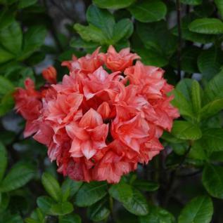 Azalee My Reini 60-80cm - Rhododendron luteum Lady - Alpenrose - Vorschau