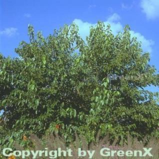 Schwarzer Maulbeerbaum 60-80cm - Morus nigra - Vorschau