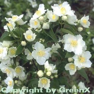 Gartenjasmin Dame Blanche 40-60cm - Philadelphus - Vorschau