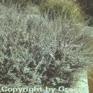 Silber Kriechweide 40-60cm - Salix repens - Vorschau