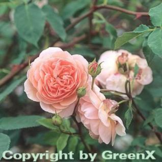 Englische Rose William Morris® 30-60cm - Vorschau