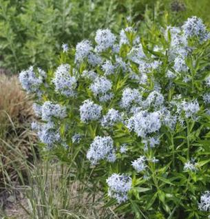 Orientalischer Blaustern - Amsonia orientalis - Vorschau