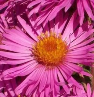 Rauhblattaster Harrington Pink - Aster novae angliae - Vorschau