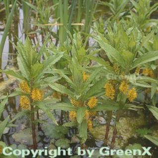 Strauß Felberich - Lysimachia thyrisflora - Vorschau