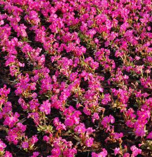 Rosen Primel Gigas - Primula rosea - Vorschau
