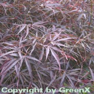 Fächer Ahorn Red Pygmy 125-150cm - Acer palmatum - Vorschau