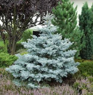 Ediths Blaufichte 100-125cm - Picea pungens - Vorschau