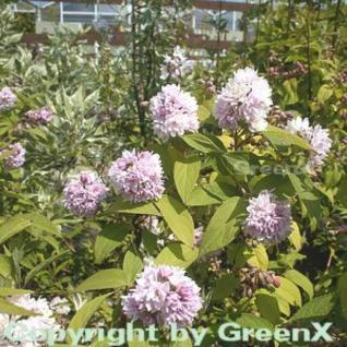 Rosendeutzie Pink Pom Pom 80-100cm - Deutzia hybrida - Vorschau