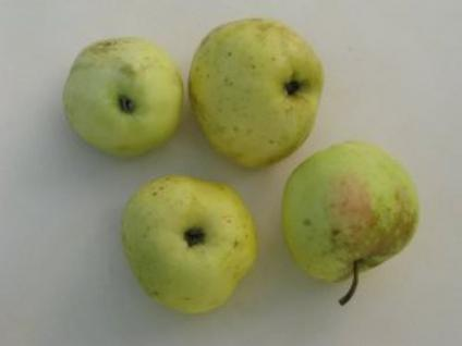 Apfelbaum Filippa 60-80cm - edler Herbstapfel - Vorschau