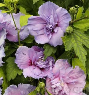 Garteneibisch Blue Chiffon 60-80cm - Hibiscus - Vorschau