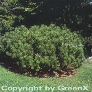 Zwerg Bergkiefer 20-25cm - Pinus mugo - Vorschau