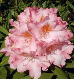 Rhododendron Pink Cherub 40-50cm - Alpenrose - Vorschau