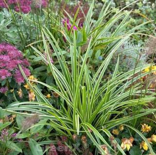 Weiß gestreife Segge - großer Topf - Carex morrowii - Vorschau