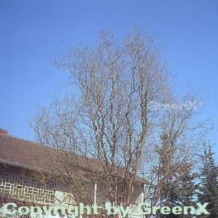 Korkenzieherweide 100-125cm - Salix matsudana - Vorschau