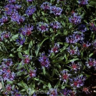 Bergflockenblume Grandiflora - Centaurea montana - Vorschau