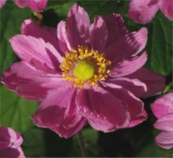 Anemone Pamina - Anemone japonica - Vorschau