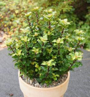 Amerikanischer Ilex Little Rascal 25-30cm - Ilex meserveae - Vorschau