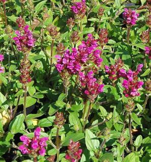 Großblütige Braunelle Inshirach Ruby - Prunella grandiflora - Vorschau