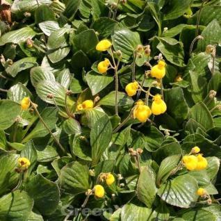 Zwerg Pantoffelblume Goldcap - Calceolaria biflora - Vorschau