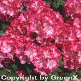 Großblumige Rhododendron Germania 30-40cm - Alpenrose - Vorschau