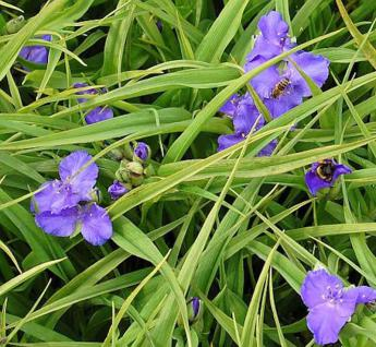 Dreimasterblumen Bärbel - Tradescantia andersoniana - Vorschau