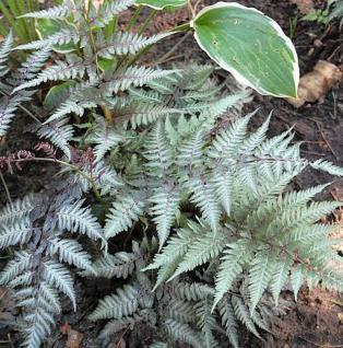 Regenbogenfarn Metallicum - Athyrium niponicum - Vorschau