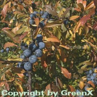 Schwarzdorn 60-80cm - Prunus spinosa - Vorschau