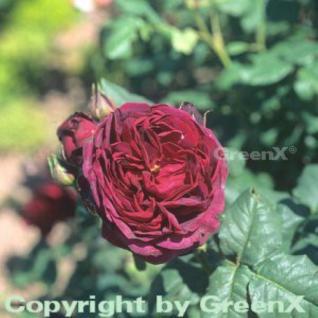 Englische Rose Othello® 30-60cm - Vorschau