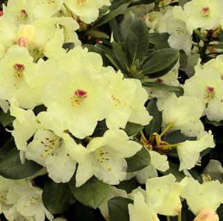 Hochstamm Rhododendron Flava 60-80cm - Alpenrose - Vorschau