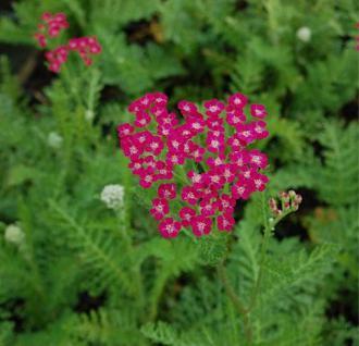 Schafgarbe Serenade - Achillea millefolium - Vorschau