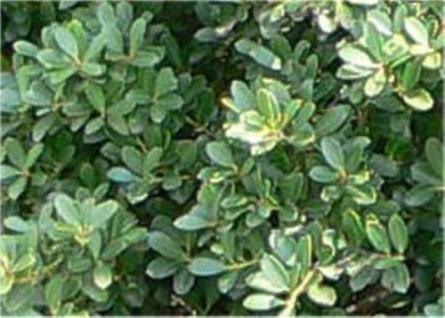 Japan Stechpalme Ilex 30-40cm - Ilex crenata - Vorschau