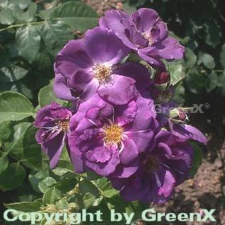 Floribundarose Rhapsody in Blue® 30-60cm - Vorschau