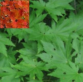 Koreanischer Ahorn 40-60cm - Acer pseudosieboldianum - Vorschau