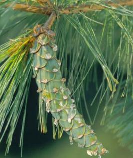 Hänge - Seidenkiefer 40-50cm - Pinus strobus - Vorschau