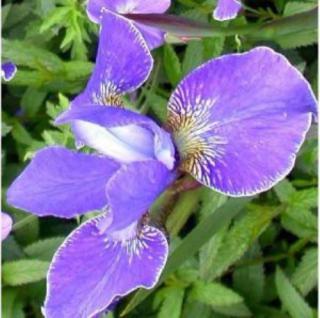 Sibirische Wieseniris Silver Edge - Iris sibirica - Vorschau