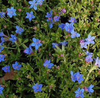Steinsamen Heavenly Blue - Lithodora diffusa - Vorschau