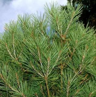 Zwerg Schlangenhautkiefer Zwerg Panzerkiefer 25-30cm - Pinus heldreichii Compact Gem - Vorschau