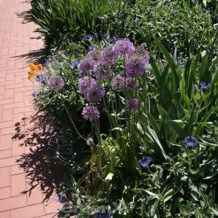 Zierlauch Summer Drummer - Allium cultorum - Vorschau